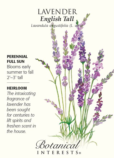 English Tall Lavender Seeds - 250 mg - Lavendula