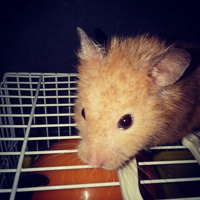 Quidditch Quidditchthehamster Hamster Hamstergram Hamsters Hamsterlove Hamsterlife Hamstagram Instahamster Instahamsters Hamster Animals Instagram Последние твиты от xhamsterlive (@xhamsterlive). pinterest