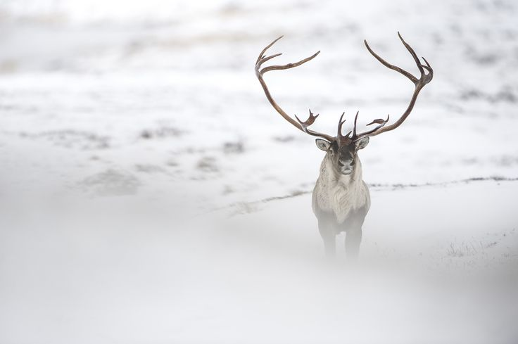 Vincent Munier est un photographe animalier français amoureux des pays froids et de leurs animaux. Découvrez son superbe travail.  - #blog #grainedephotographe #animals
