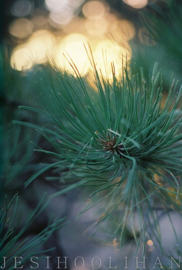 Pine tree needles and a blazing sun near Denver. Love the Rocky Mountains! Taken by me, Jesi Hoolihan Photography on Fuji 400H 35mm film. Film is not dead.