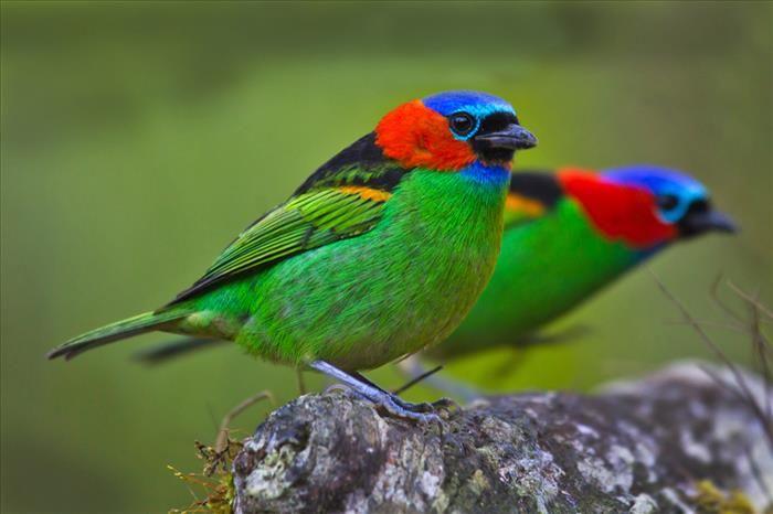O tangará de pescoço vermelho é encontrado em florestas tropicais da Argentina, Brasil e Paraguai, apresentando uma incrível variedade de cores.