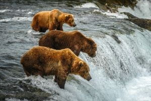 Bear viewing is prime May through September