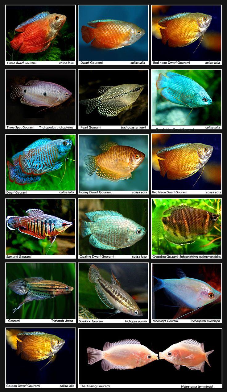 Types of dwarf gourami bing images 90 gallons of fish Types of fish aquarium
