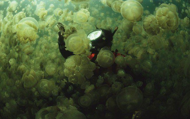 As águas-vivas recebem mergulhadores em lago de Palau