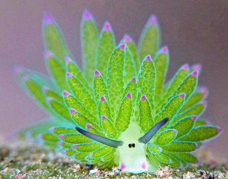 """Surnommée """"le mouton des mers"""", costasiella kuroshimae est une espèce de sacoglosse. - SCMB Images"""