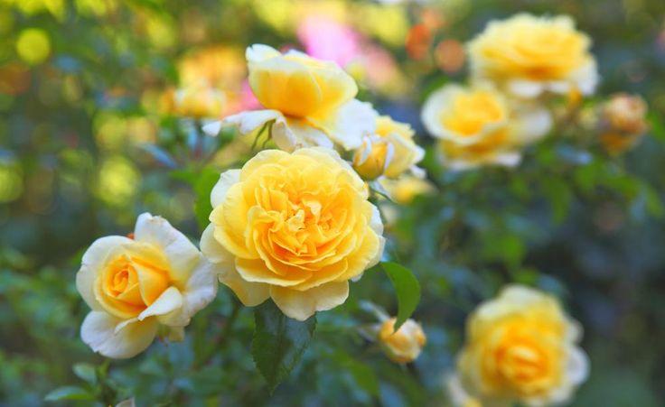 Rosen zählen zu den Blütensträuchern mit hohem Nährstoffbedarf. Hier lesen Sie, wie Sie die edlen Pflanzen bedarfsgerecht düngen.