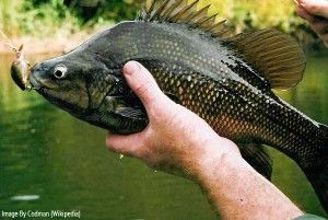 A Macquarie Perch from the Yarra River in Melbourne