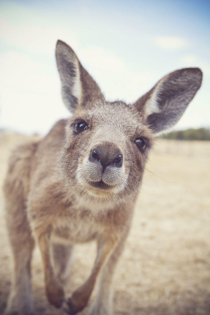 Kangaroo checking out the camera