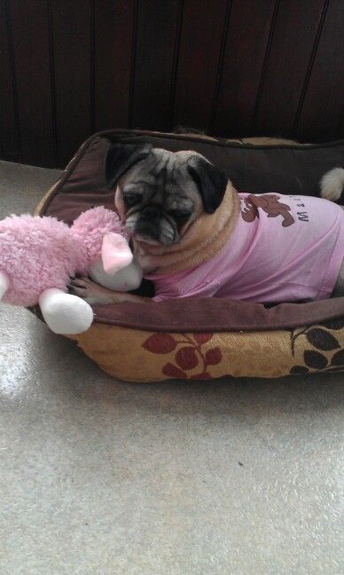 114 best senior pugs images on pinterest pug dogs pugs and doggies ready for night night thecheapjerseys Gallery
