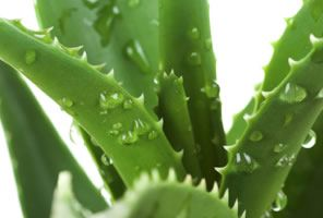 Historically, it's been said that Cleopatra used aloe in her beauty regime.  A popular herbal remedy that's earned a respectable reputation on the skin, aloe vera contains biological sugars, minerals, amino acids, enzymes and vitamins. www.nubella.com.au