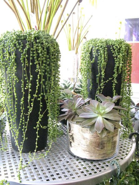 The Senecio Rowleyanus 'String of Pearls' is native to Namibia Africa with its wonderful round leaves it appears to be a string of pearls. They make nice trailing plants. Like bright light and are Hardy to 36F.