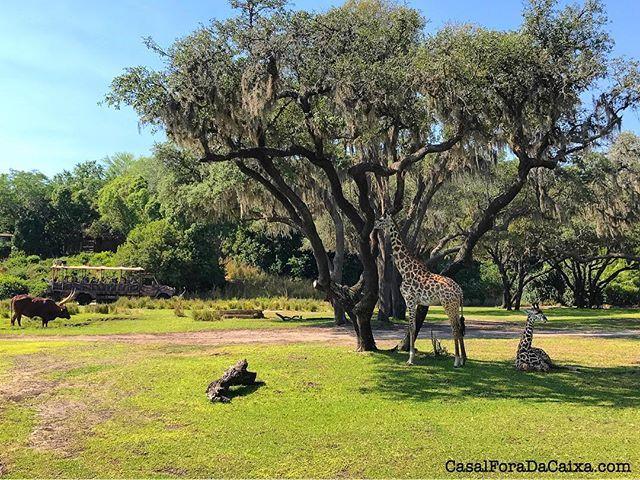 """Uma das atrações do Animal Kingdom é o Kilimanjaro Safari, um passeio pela savana africana em meio aos exóticos animais da selva. Imperdível! 🦍🐆🐊🐒🐘"" by @casalforadacaixa (Giuliana & Elton). #turismo #instalife #ilove #madeinitaly #italytravel #tour #passportready #instavacation #natgeotravel #mytinyatlas #traveldeeper #travelawesome #travelstoke #travelwriter #lonelyplanet #instalive #ilovetravel #instatravelling #getaway #globetrotter #travelandlife #traveldiary #worlderlust…"