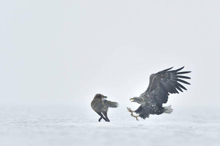 """ZWIERZĘTA: Paweł Chara """"Bielik"""" - O krok od zwycięstwa. Zobacz wszystkie nominowane  zdjęcia w 12. Wielkim Konkursie Fotograficznym [GALERIA]"""