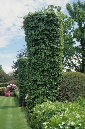 Hedera helix Κισσός - Google Search