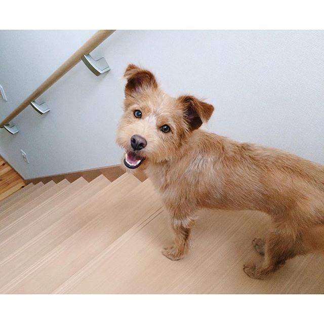へっへーんだの顔。お留守番のためハウスへ誘導中。逃げまくり(´△`) #caramel#キャラメル#雑種犬#ミックス犬#保護犬#テリアミックス#犬#dog#愛犬#癒し犬#犬ばか部