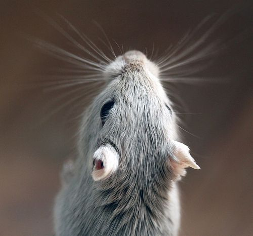 Gerbil looks like one of mine ( or at least want me like that:)