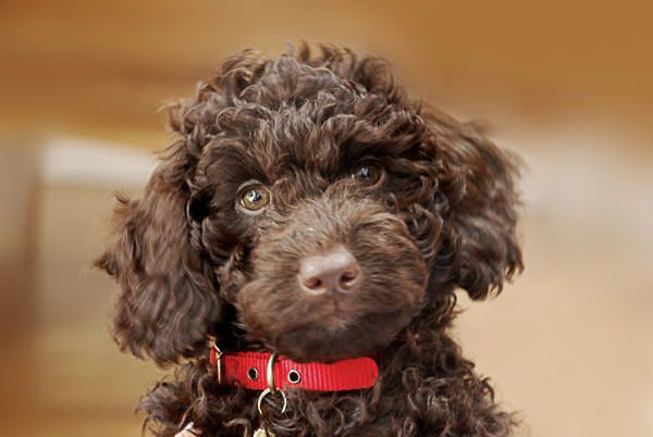 brown labradoodle puppies - Google Search