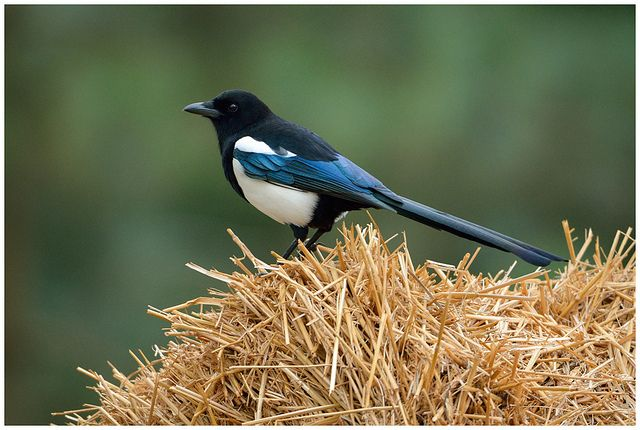 Learn some interesting facts about the talented Eurasian magpie! http://bit.ly/magpie-facts