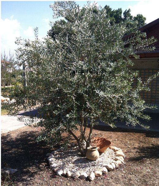 10 facts about the olive tree and israel israel