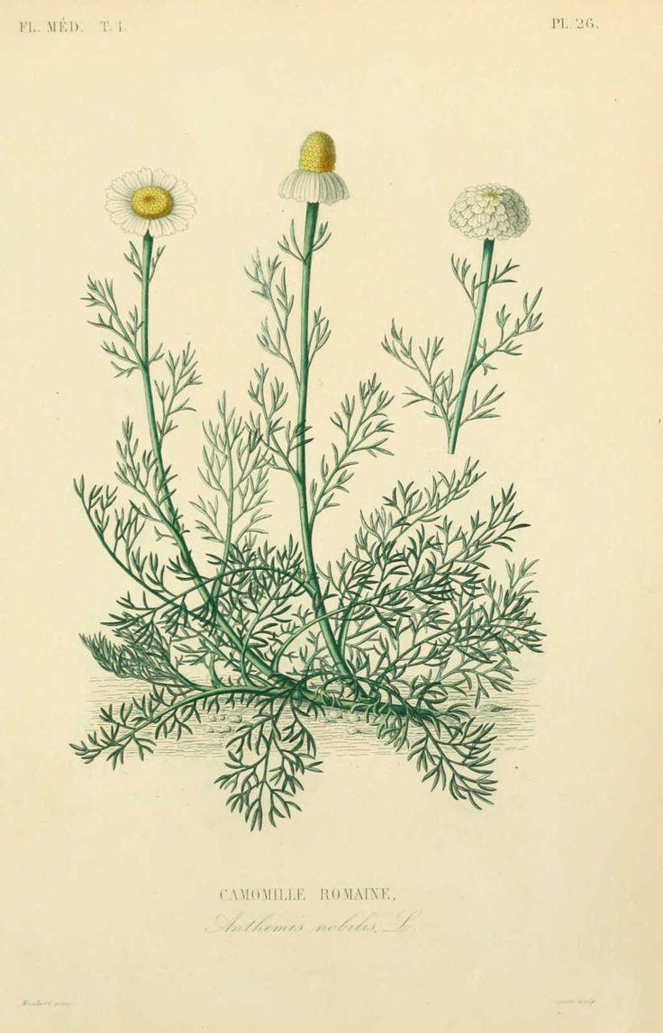 Dessins de plantes medicinales de Camomille romaine