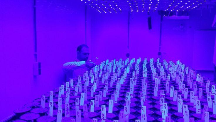 LED it Be: Η επανάσταση στην παραγωγή της τομάτας έρχεται από Ολλανδία με Ελληνική υπογραφή - http://ipop.gr/themata/eimai/led-it-be-i-epanastasi-stin-paragogi-tis-tomatas-erchete-apo-ollandia-me-elliniki-ypografi/
