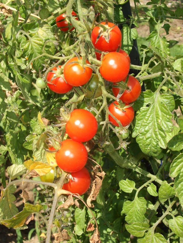 Vita Frugale: Come piantare i pomodori