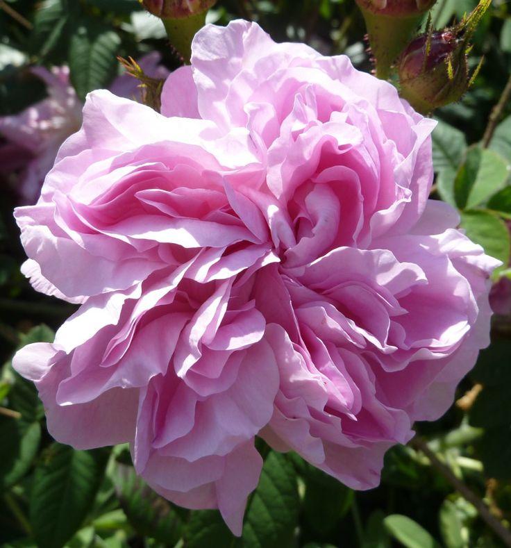 'Gloire de France' (1819) - AGM 2012. Gallica. Overweldigende  zomerbloei. Zeer gevulde lichtroze bloemen (10cm) met  roomwitte rand. Geurig. Zeer gezond en sterk.  90cm x 120cm.