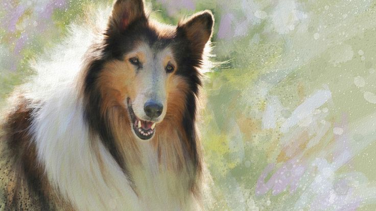 strokes, sunny, picture, dog, painting art, wallpaper from lolita777, collie, painting, portrait, figure, dog portrait sunny picture collie wallpaper from lolita777 painting face strokes figure, painting pictures, face, painting ideas