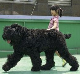 The  Black Russian Terrier. Large, black, and Russian, but not a terrier. Did Stalin name it wrong on purpose?