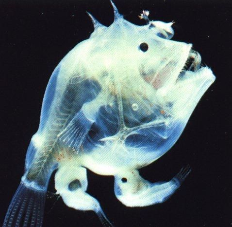 44 best images about deep ocean on pinterest deep sea for What do angler fish eat