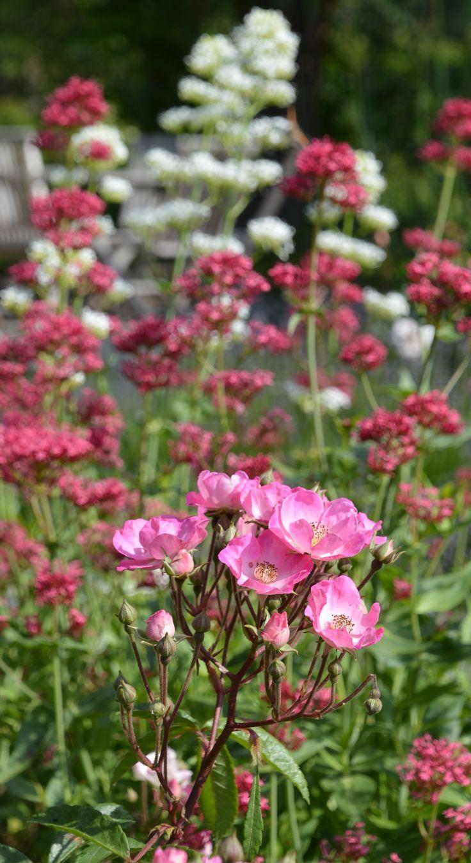 j 39 adore rosier arbuste moschata 39 alden biesen 39 et valeriane des jardins fleurs de mon jardin. Black Bedroom Furniture Sets. Home Design Ideas
