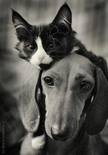 aweHats, Kitty Cat, Best Friends, Dachshund, Close Friends, Dogs Cat, Pets, Wiener Dogs, Animal