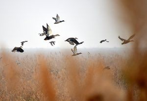 Migrating birds fly over the Yellow River Delta in Dongying, China.
