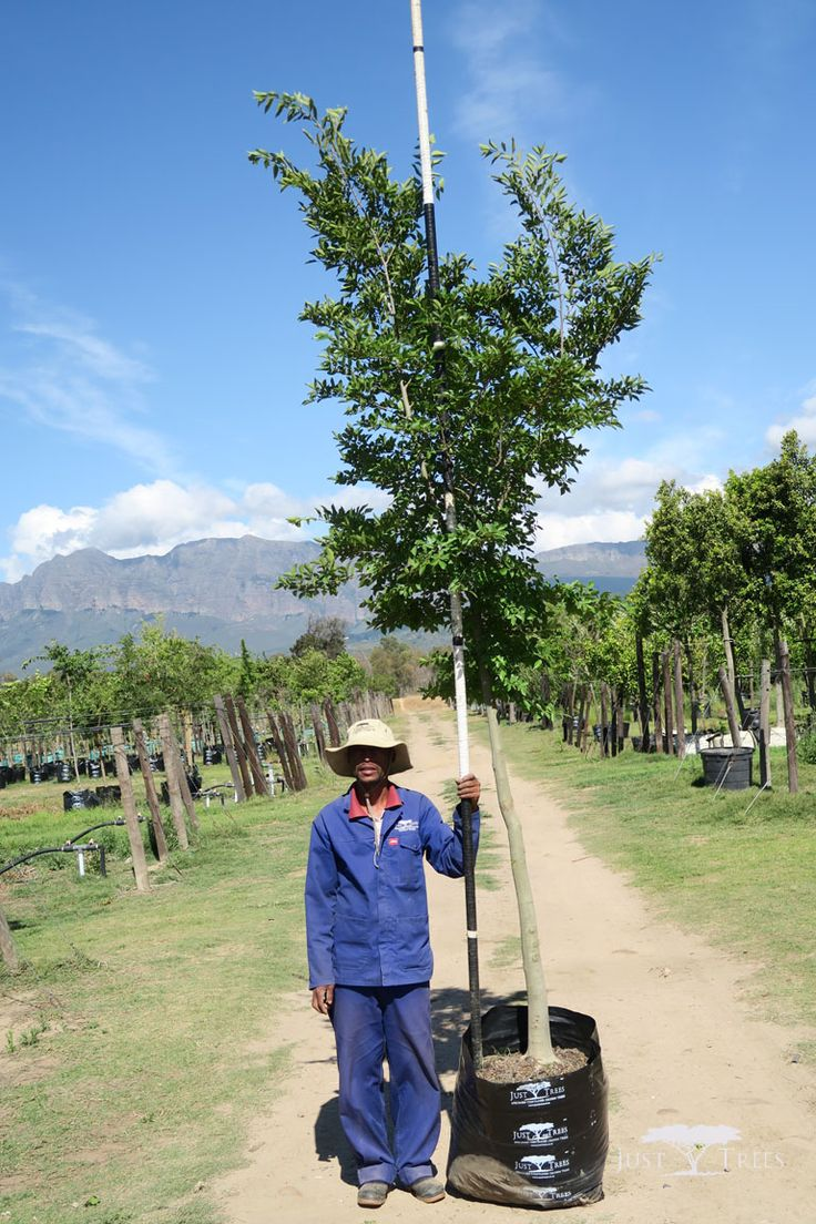 100L Celtis sinensis. This deciduous tree is capable of growing to an impressive height. Able to grow in a variety of conditions, it is a popular choice for a large garden and parks. This specimen would work beautifully both as an avenue and as a windbreak.
