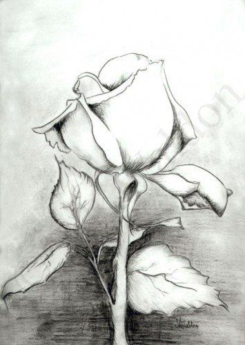 white rose bud charcoal drawing