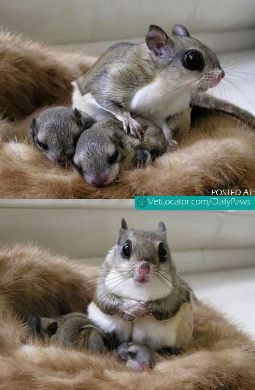 Daily Paws Picture of the Day: Japanese Dwarf Flying Squirrel and her babies! - http://www.vetlocator.com/dailypaws/2014/03/daily-paws-picture-of-the-day-japanese-dwarf-flying-squirrel-and-her-babies/
