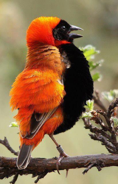 Beautiful Orange Bishop #orange #birds