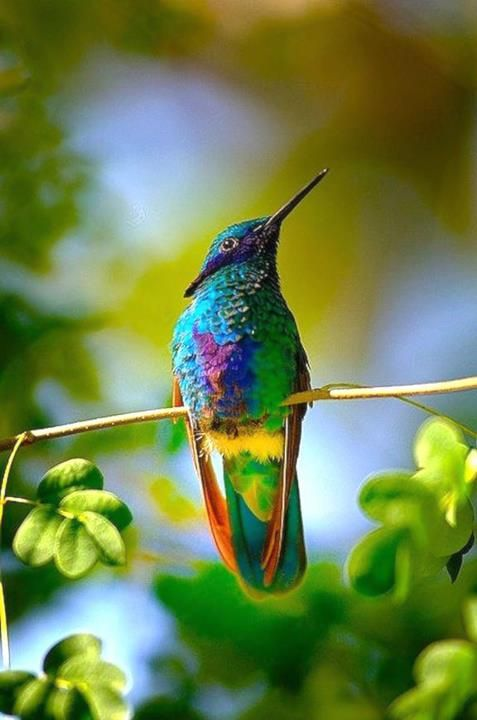 Colibris Coloré Rainbow Hummingbird