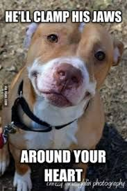 Image result for pitbull meme dog