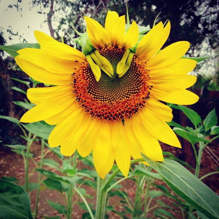 22 Best Dried Sunflowers Images On Pinterest