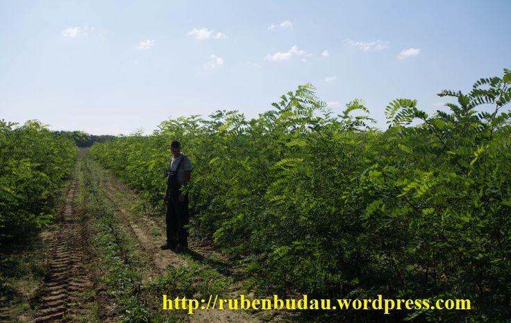 Privire de ansamblu din plantația energetică de salcâm după primele 130 zile de vegetaţie de la plantare (schema de plantare 2x0,5).