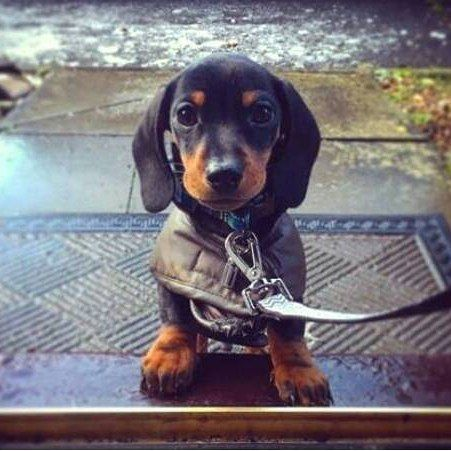 """71 Likes, 3 Comments - Dachshund & Wienerdog Inc. (@sausagedoglove) on Instagram: """"Hi my mommy and daddy said you have food and cuddles?  To je featured use #Sausagedoglove on your…"""""""