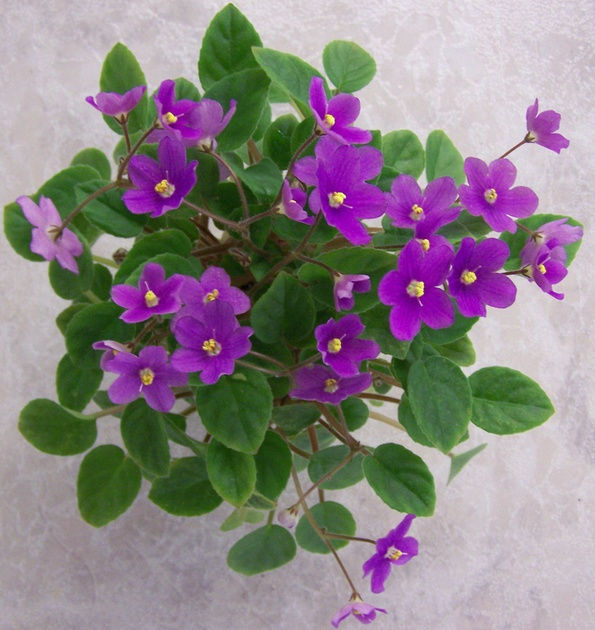 indian trail 4026 09041980 t khoe single african violetamazing flowershouseplantsflowers