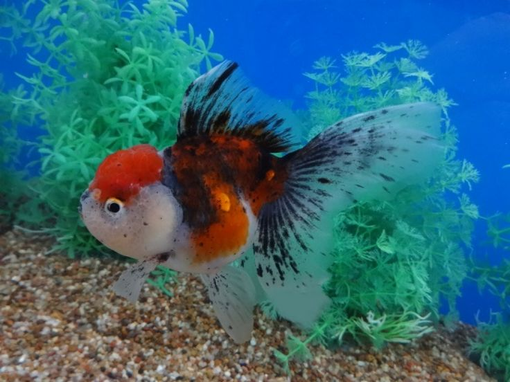 314 best images about gotta love fantail goldfish on for What fish can live with goldfish