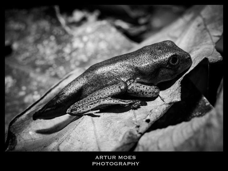 #nature #naturephotography #fotografiadenatureza #natureza #vidaselvagem #wildlife #rainforest #mataatlantica #macro #macrophotography #biodiversity #biodiversidade #frog #anura #anfibio #amphibian #BioCenas #blackandwhite #pretoebranco #RioDeJaneiro #RJ #ArturMoes #arturmoesphotography