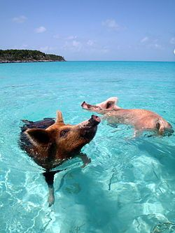 Pig Island in Big Major's Cay, Exuma District; We want to go swimming with the pigs!