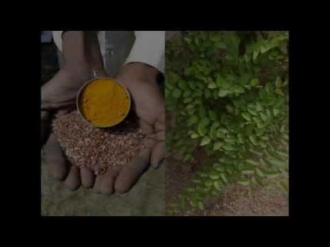Medicinal Rice P5N Formulations for Rhapis Excess: Pankaj Oudhia's Medic...
