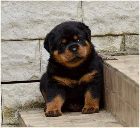 Buy & Sell ROTTWEILER puppies online  https://www.dogspuppiesforsale.com/rottweiler