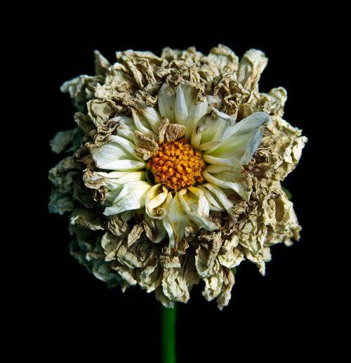 dead flower dahlia