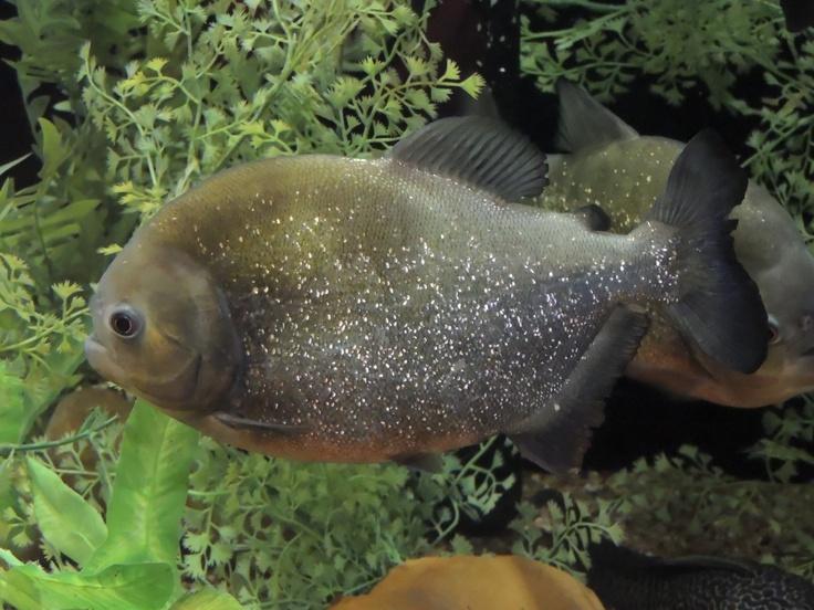 28 best piranhas images on pinterest fish aquariums for Piranha fish tank